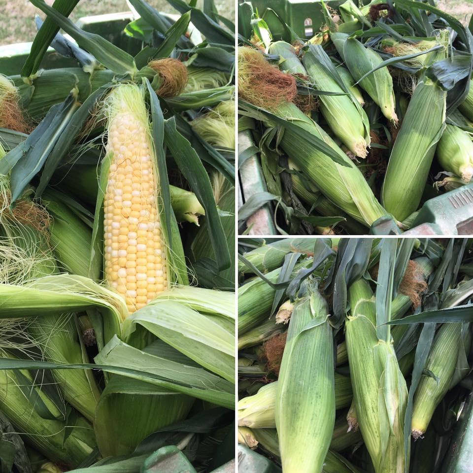 sweet corn 2016